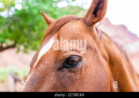 Apricot orchard with brown horse face macro closeup of eye and fly by canyon landscape in Fruita Capitol Reef National Monument in summer - Stock Photo
