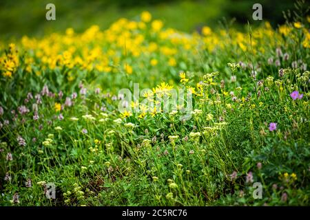 Albion Basin in Alta, Utah summer festival with many yellow wildflowers flowers in Wasatch mountains in meadow field shallow depth of field blurry bac - Stock Photo