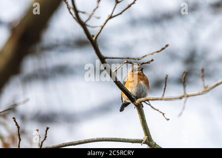One single bluebird female brown orange bird sitting perching closeup on tree during winter in Virginia bare branch during sunset with sunlight - Stock Photo