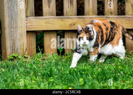 Outdoor senior calico cat outside walking hunting by fence in garden lawn backyard on green grass in summer garden Stock Photo