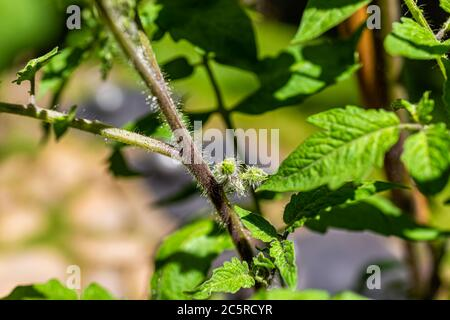 Macro closeup of small green unripe black tomato flower buds before blooming hanging growing on plant vine in garden - Stock Photo
