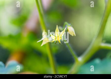 Macro closeup of small green yellow tomato flower blossoms blooming hanging growing on plant vine in garden - Stock Photo