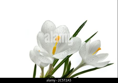 Close up on the pistil and stamens of white crocus flower with water drops - Stock Photo