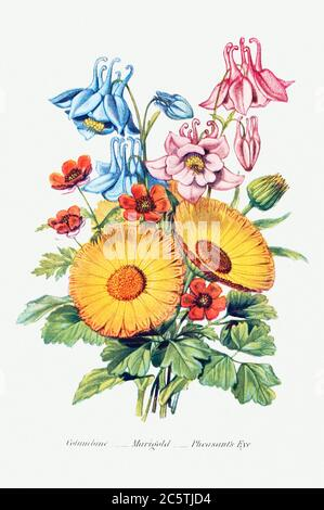 Columbine, Marigold and Pheasant's Eye from The Language of Flowers, or, Floral Emblems of Thoughts, Feelings, and S.jpg - 2C5TJD4 - Stock Photo