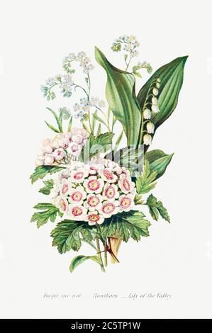 Forget Me Not, Hawthorn and Lily of the Valley from The Language of Flowers, or, Floral Emblems of Thoughts, Feeling.jpg - 2C5TP1W - Stock Photo