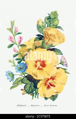 Hollyhock, Hepatica and Rest Harrow from The Language of Flowers, or, Floral Emblems of Thoughts, Feelings, and Sent.jpg - 2C5TW75 - Stock Photo