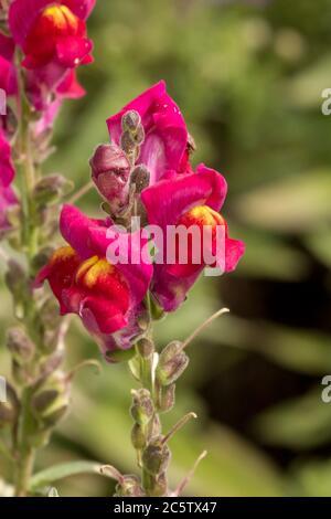 Dragon flower in a german garden - Stock Photo