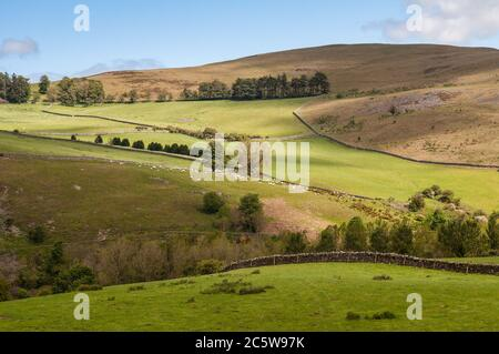Sheep graze in pasture fields in the rolling hills of the Scottish Borders above the Tweed valley - Stock Photo