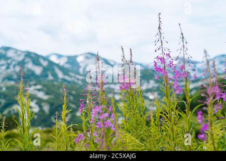 Swiss Alps Valley with Flowers. Campanula cochleariifolia wildflower in Alp meadow landscape. Beautiful view of idyllic alpine mountain scenery with blooming meadows on a beautiful sunny summer day