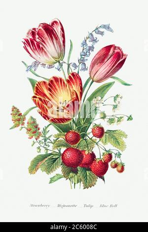 Strawberry, Mignonette, Tulip, and Blue Bell and from The Language of Flowers, or, Floral Emblems of Thoughts, Feeli.jpg - 2C6008C - Stock Photo