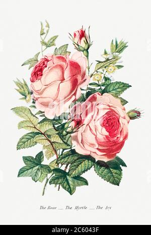 The Rose, the Myrtle and the Ivy from The Language of Flowers, or, Floral Emblems of Thoughts, Feelings, and Sentime.jpg - 2C6043F - Stock Photo