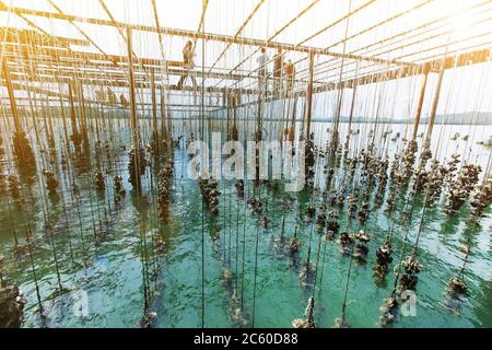 Low angle view of oyster farm in a coastal on sunny summer, travel destinations and noted for seafood in Chanthaburi, Thailand. Selective focus. - Stock Photo