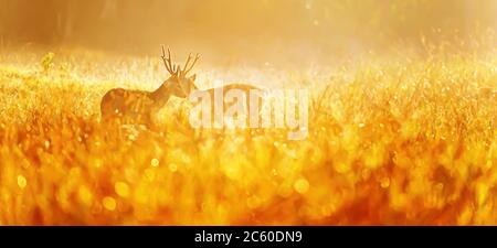Two males Hog Deer fight for mating rituals in a grassland in the morning mist, glowing morning dew in the early light.