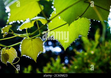 Beads of dew hang from every corner of the Concord grape leaves on a vine in a backyard, before fruit buds are set, Ontario, Canada. - Stock Photo