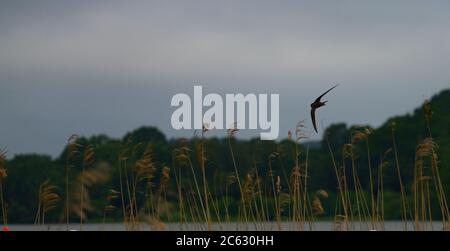 swift flying in sky over reed bed - Stock Photo
