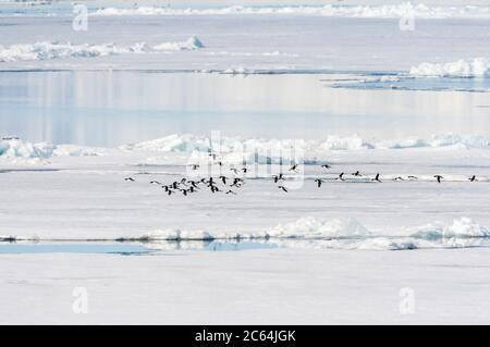 Flock of Thick-billed Murres (Uria lomvia), also known as Brunnich's Guillemot, flying low over the drift ice north of Svalbard, arctic Norway. - Stock Photo