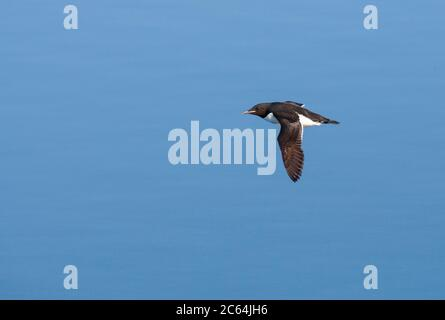 Adult Thick-billed Murre (Uria lomvia), also known as Brunnich's Guillemot, in Svalbard, Norway. Flying above the arctic sea. - Stock Photo