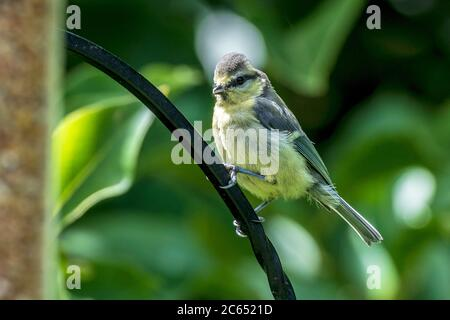 Juvenile Chiffchaff garden bird on a bird feeder. - Stock Photo