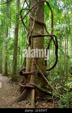 Pandorea pandorana (Wonga vine) encircles buttressed Blackbean tree Mary Cairncross Scenic Reserve Stock Photo