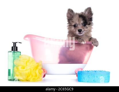 Very cute blue merle mixed breed Pomerian / Boomer puppy, sitting in pink doll bath with soap and sponge. Looking towards camera with shiny dark eyes.