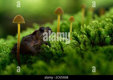 Juvenile Common toad, European toad (Bufo bufo) waiting for insekts to eat on oak root. Kaltenhofer Moor, Kiel, Germany - Stock Photo