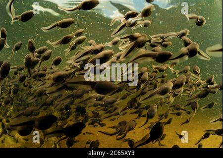 Common European toad (Bufo bufo) tadpoles congregating in a lake, Moelln, northern Germany - Stock Photo