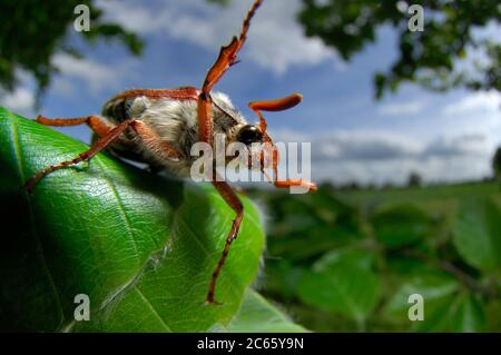 The cockchafer (or may bug, as it is colloquially called, or sometimes billy witch or spang beetle, particularly in East Anglia) is a European beetle of the genus Melolontha, in the family Scarabaeidae.