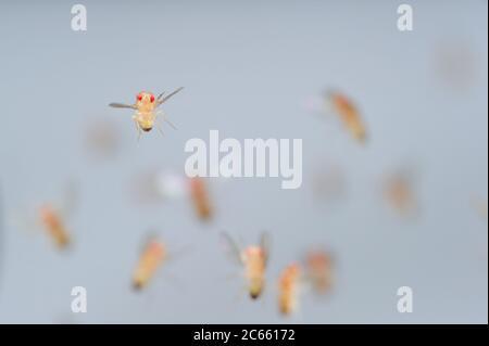 Wild type Fruit Fly (Drosophila melanogaster) in filght in a lab culture. - Stock Photo