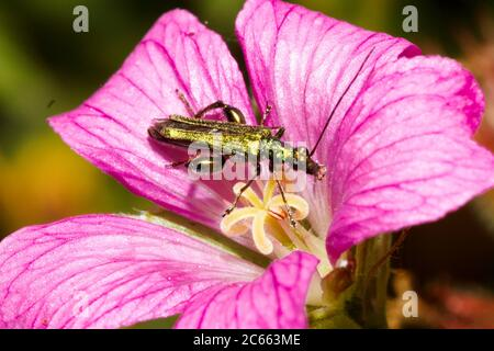 Male Thick legged flower beetle (Oedemera nobilis) Sussex garden, UK