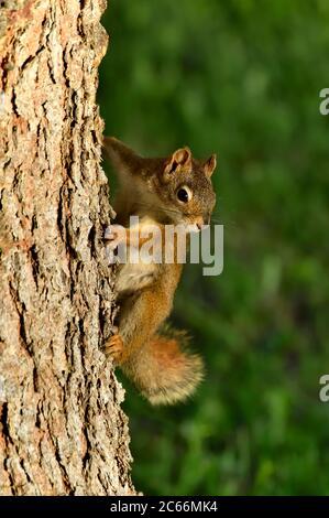A wild red squirrel (Tamiasciurus hudsonicus), climbing a tree trunk in his habitat in rural Alberta Canada. - Stock Photo