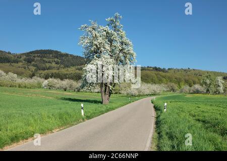 Cherry blossom in Obereggenen, Eggener Tal, Markgräfler Land, Black Forest, Baden Württemberg, Germany - Stock Photo