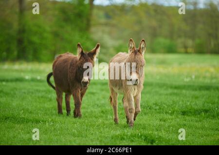 Two donkeys in a meadow - Stock Photo
