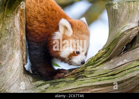 Detailed close up of a young, cute red panda (Ailurus fulgens) up to mischief, climbing the tree in his outdoor enclosure at a UK wildlife park. - Stock Photo