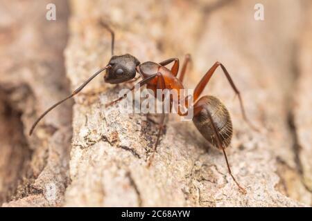 Ferruginous Carpenter Ant  (Camponotus chromaiodes) - Stock Photo