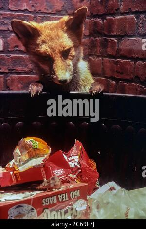 Taxidermy display of an urban fox and mouse scavenging a dustbin. Cumberland House Natural History Museum, Southsea, Portsmouth, Hampshire, England, UK. Circa 1980's - Stock Photo