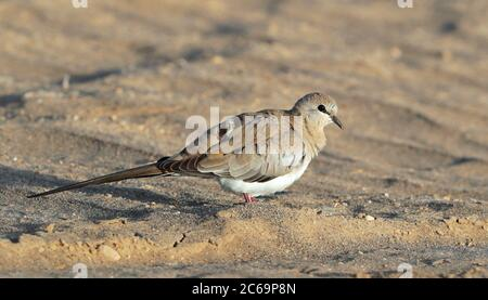 Female Namaqua Dove (Oena capensis) standing on the ground in a desert area in Oman. - Stock Photo