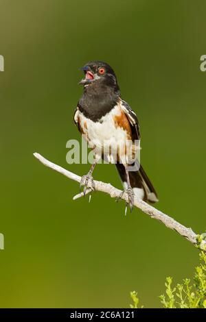 Adult Spotted Towhee (Pipilo maculatus) perched on a twig in Los Angeles County, California in USA. Singing its heart out - Stock Photo