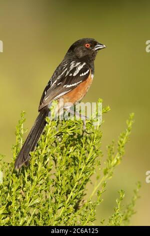 Adult Spotted Towhee (Pipilo maculatus) perched on a low bush in Los Angeles County, California, USA. Seen on the back. - Stock Photo