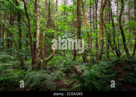 Birch and beech trees in summer woodland,Blidworth Woods,Nottinghamshire,England,UK Stock Photo