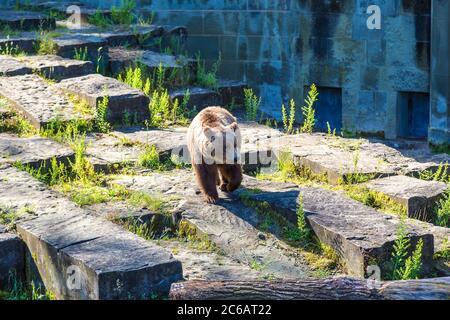 Bear in the bear pit in Bern in a beautiful summer day, Switzerland - Stock Photo