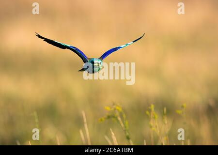 Colorful european roller flying over the field in summer. - Stock Photo