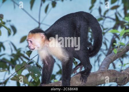 White-faced capuchin monkey (Cebus capucinus) in rainforest, Manuel Antonio National Park, Puntarenas Province, Costa Rica, Central America - Stock Photo