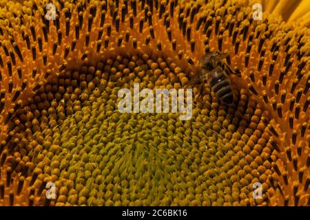 Detailed view of a sunflower head with a honeybee. - Stock Photo