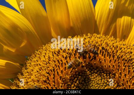 Close up of a honeybee on a giant, yellow sunflower. - Stock Photo