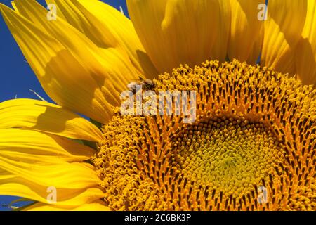Close up of a honeybee on a giant, yellow sunflower with a bright blue sky. - Stock Photo