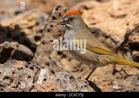 Green-tailed towhee (Pipilo chlorurus), Cabin Lake Viewing Blind, Deschutes National Forest, Oregon Stock Photo