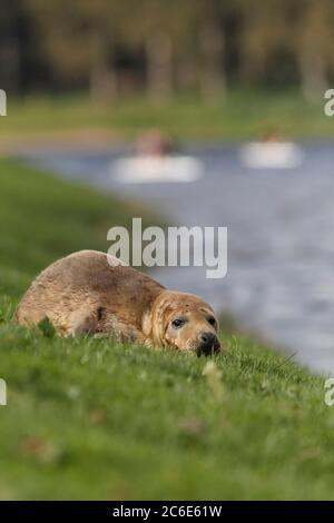 GREY SEAL (Halichoerus grypus) resting on a riverbank, UK. - Stock Photo