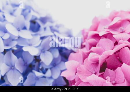 hydrangeas inflorescences in bloom still life on white background - Stock Photo