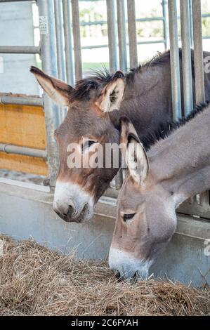 Two donkeys eating hay at FICO Eataly. Bologna, Italy. - Stock Photo