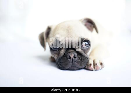 Cute fawn colored pug puppy laying on white floor looking sidewards. - Stock Photo